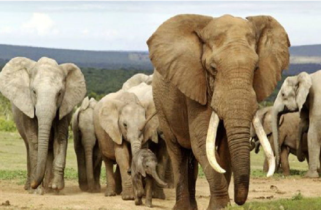 largest elephant protected